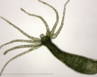 hydra by Marc Perkins - OCC Biology Departmen flickr