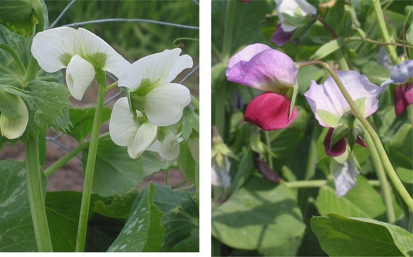 Figura1:  Flores de Pisum sativum (Fuente Doperwt_rijserwt_bloemen)
