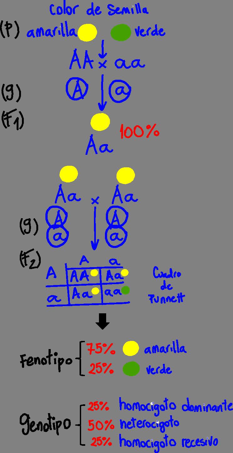 Esquema que representa experimentos de cruza de plantas de guisante (arveja o chícharos) Pisum sativum. El carácter analizado es el color de la semilla (amarilla o verde). Los parentales (P) son plantas con semillas amarillas (AA, homocigoto dominante) que se cruzan con plantas de semillas verdes (aa, homocigoto recesivo). Cada uno, durante la gametogénesis, forma sus gametos (G) que son haploides y, por lo tanto, portarán uno solo de los dos alelos posibles, dando como resultado gametos con los alelos correspondientes. La filial 1 (F1) resultante son todas plantas con semillas amarillas (Aa, heterocigoto). Si se permite la autofecundación de la F1, se obtiene una filial 2 (F2) cuyo fenotipo es 75% (ó 3/4)amarillas y 25% (ó 1/4)verdes. Se expresa también en el esquema el genotipo de la F2. Se asume que el alelo dominante es el que codifica para el color amarillo (A).