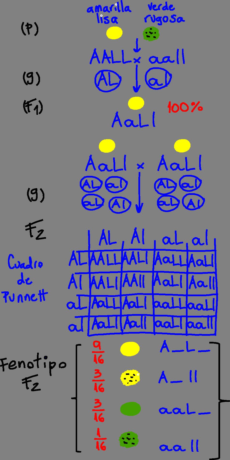 epígrafe: Esquema que representa experimentos de cruza de plantas de guisante (arveja o chícharos) Pisum sativum. Se analizan dos caracteres: color de la semilla (amarilla o verde) y textura (lisa o sugosa). Los parentales (P) son plantas con semillas amarillas lisas (AALL) que se cruzan con plantas de semillas verdes y rugosas (aall). Cada uno, durante la gametogénesis forma sus gametos (G), dando como resultado gametos con los alelos correspondientes. La filial 1 (F1) resultante son todas plantas con semillas amarillas lisas (AaLl, doble heterocigoto). Si se permite la autofecundación de la F1, se obtiene una filial 2 (F2) cuyo fenotipo se detalla en el esquema y se ajusta a una proporción fenotípica 9:3:3:1. Se expresa también en el esquema el genotipo posible de la F2 (el guión significa las dos posibilidades de alelos). Se asume que los alelos dominante son los que codifican para el color amarillo (A) por un lado y liso (L), por el otro.