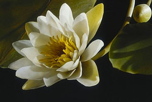 Flor de vidrio realizada por los Blaschka. Créditos HMNH.