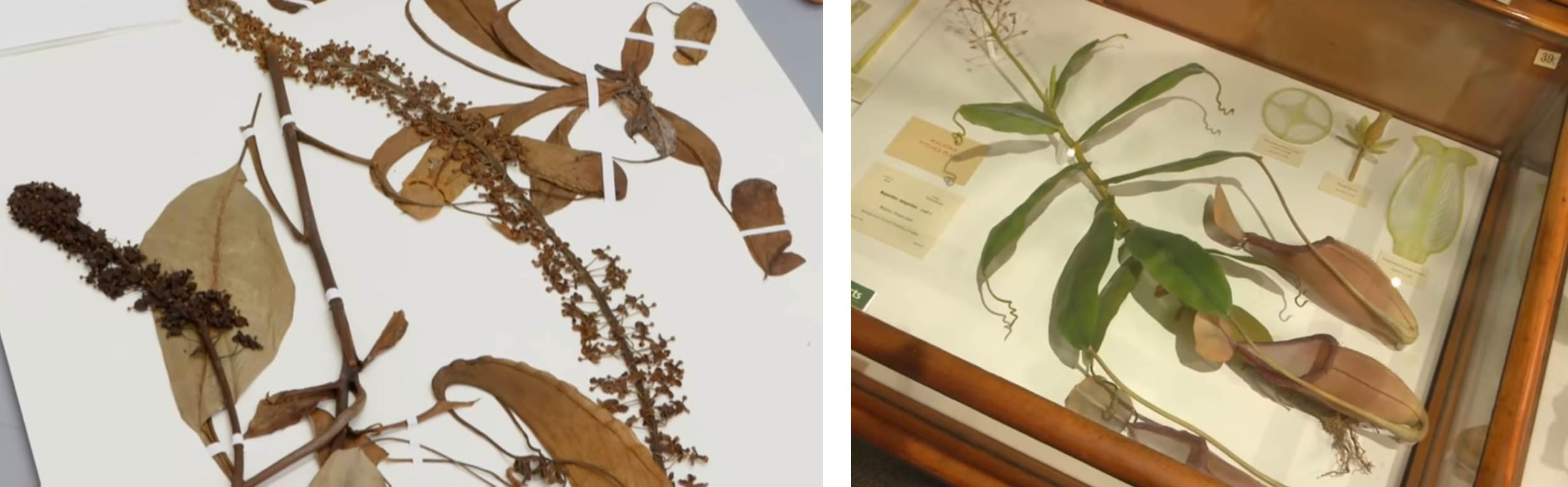 Muestra de herbario (izquierda) de una planta carnívora y la misma especie pero realizada por los Blaschka (derecha).  Tomado de HMNH.