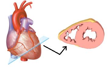 Sección transversal del corazón / Créditos: Vocesmedicas.