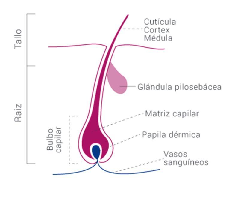 Esquema de un pelo (Fuente: Lacovin).