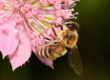 No sólo miel da la abeja